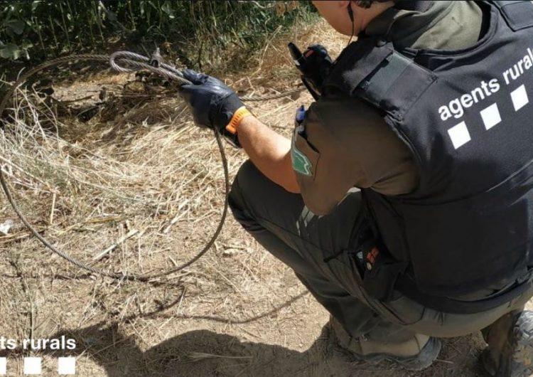 Els Agents Rurals denuncien una persona a Menàrguens per utilitzar un llaç per a la captura de porcs senglars en una finca  agrícola