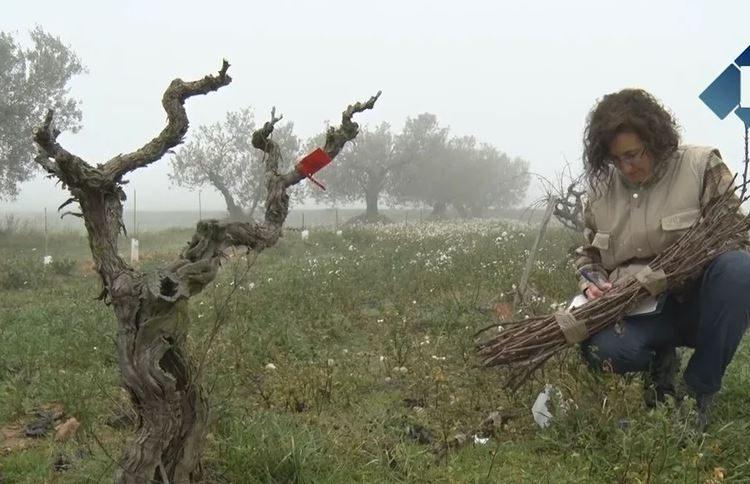 Estudien varietats de vinya desconegudes a Castelló de Farfanya
