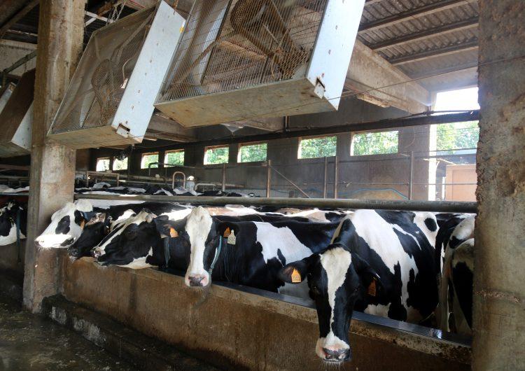Dutxes per a vaques, porcs que no mengen i un 20% més de consum elèctric: l'onada de calor a les granges
