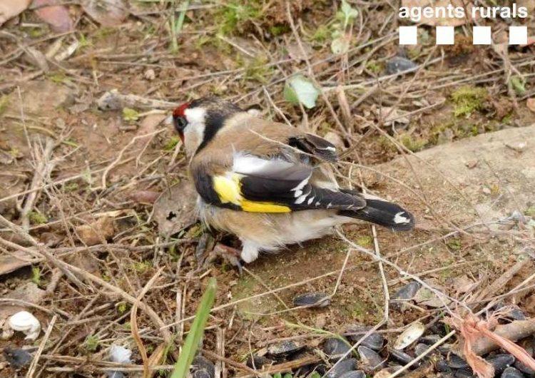 Els Agents Rurals denuncien tres persones a les que han enxampat caçant ocells fringíl·lids a Balaguer