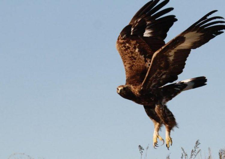 Busquen un caçador furtiu per matar una àguila daurada a Àger