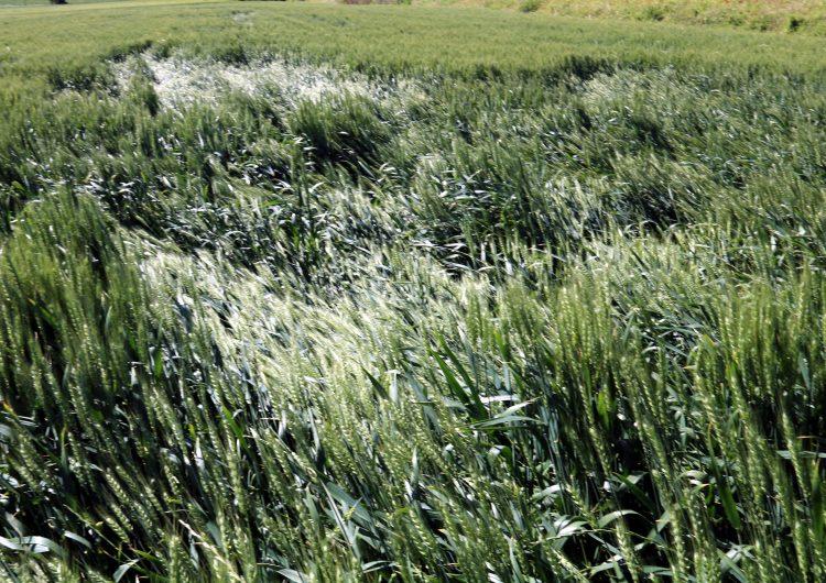 La pedregada de dissabte va afectar unes 10.000 hectàrees de cultius en una dotzena de municipis de la Noguera