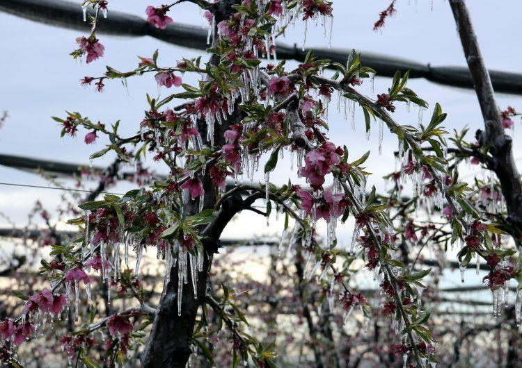 La gelada de la passada matinada afecta fruiters en floració de diversos municipis del Segrià i la Noguera
