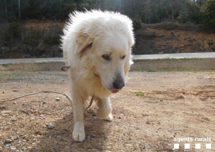 Rescaten un gos abandonat a Artesa de Segre