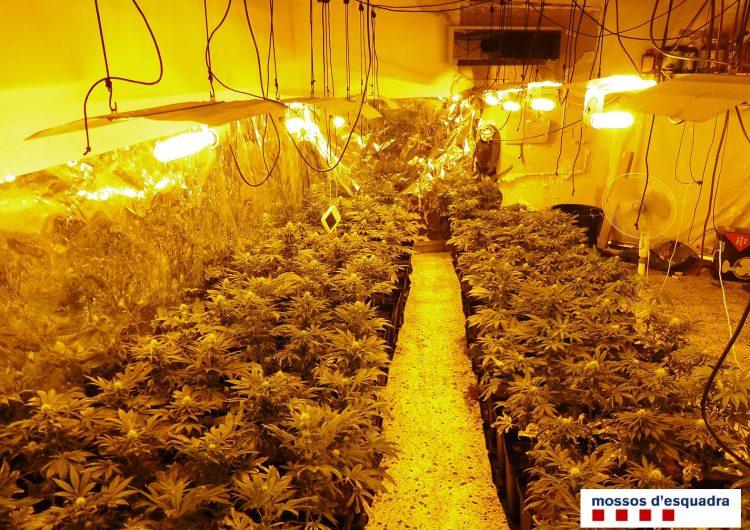 Detingut un veí de Balaguer per cultivar 184 plantes de marihuana
