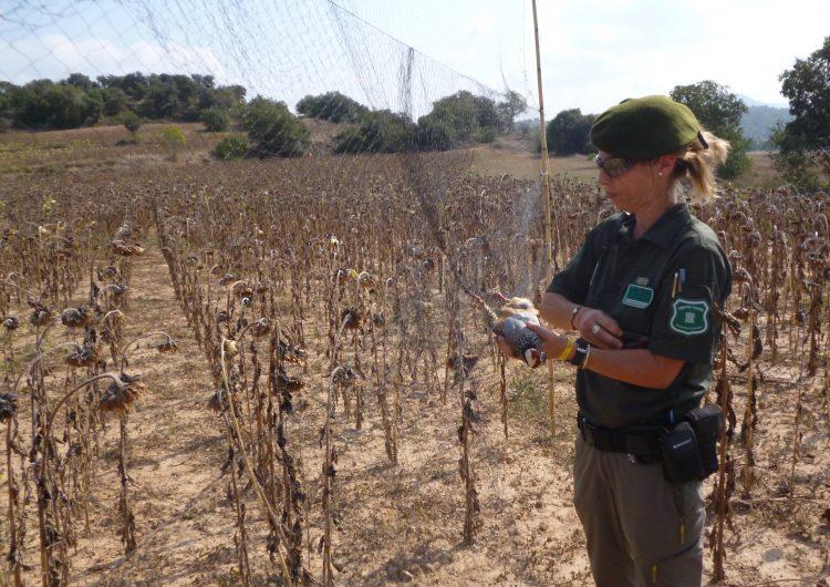 Agents Rurals enxampen in fraganti dos caçadors furtius d'ocells fringíl•lids a Artesa de Segre