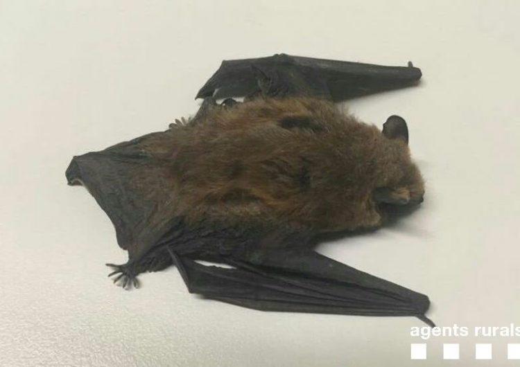 Els Agents Rurals recullen una pipistrel·la ferida a Balaguer