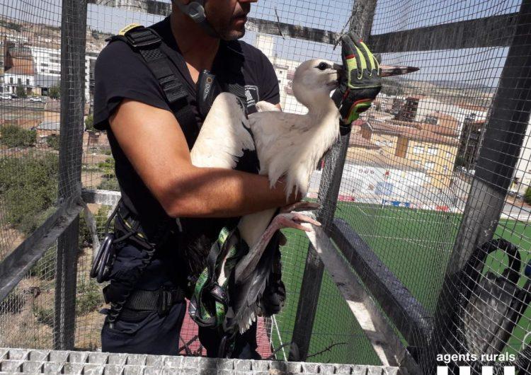 Rescaten set cigonyes atrapades al camp de futbol de Balaguer