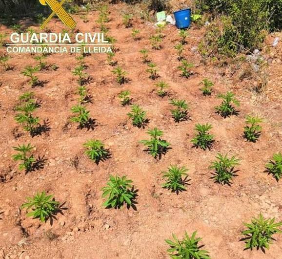 Localitzada una plantació amb més de 2.400 plantes de marihuana a Os de Balaguer