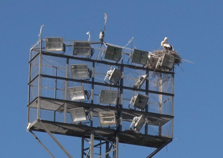 L'Ajuntament de Balaguer estudia diverses mesures per evitar les nidificacions de cigonyes al Camp Municipal
