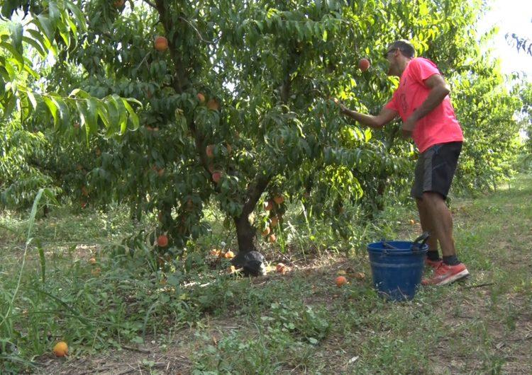 Bona campanya de la fruita de pinyol a la Noguera