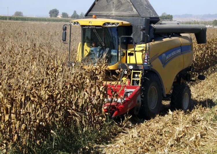 Cau entre 30 i un 40% la producció de panís a Ponent pels pics de calor de l'estiu i l'aranya roja