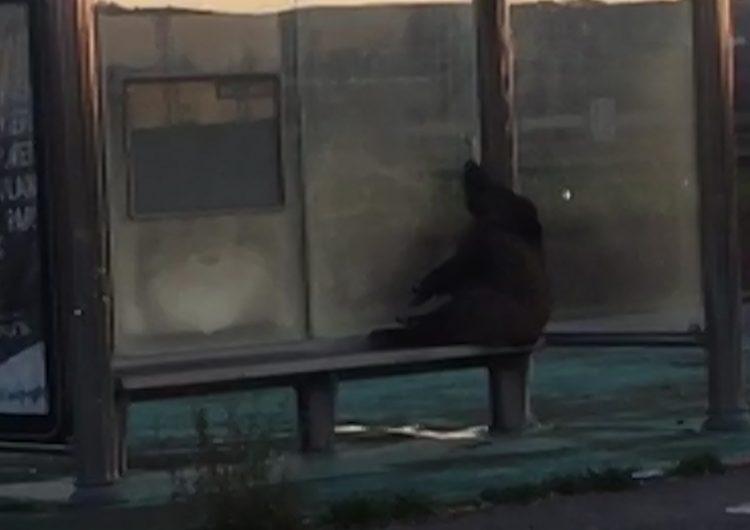 Apareix un senglar mort en una parada d'autobús de Bellcaire d'Urgell
