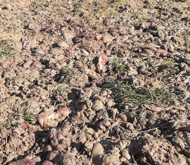 Els Agents Rurals troben un abocador de restes càrnies a la Noguera