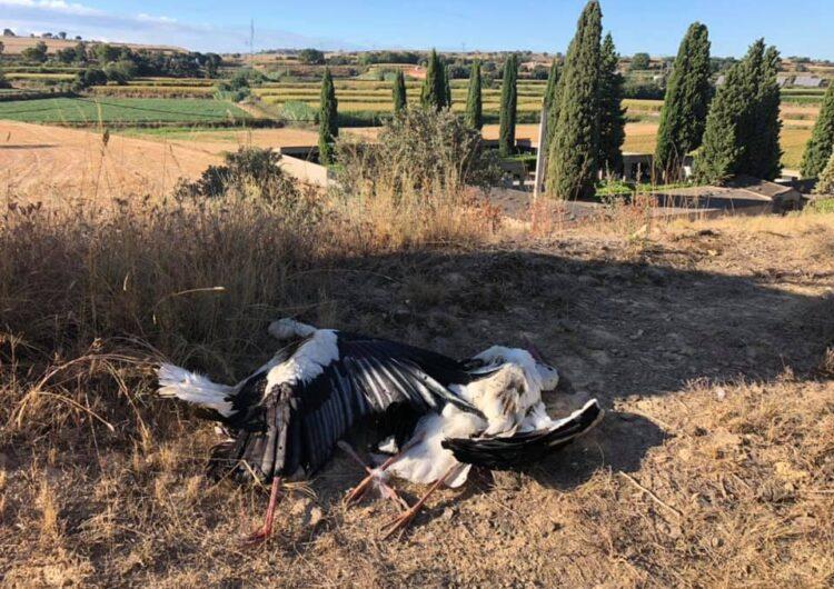 Apareixen dues cigonyes mortes a Montgai