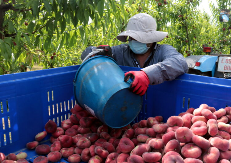 La fruita de pinyol assoleix el millor preu de comercialització dels darrers sis anys