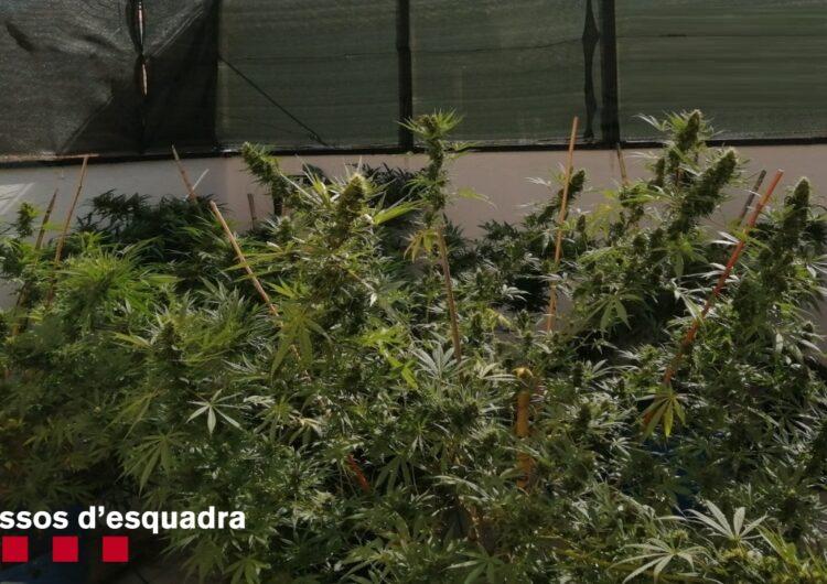 Desmantellades dues plantacions de marihuana en dos domicilis de Golmés