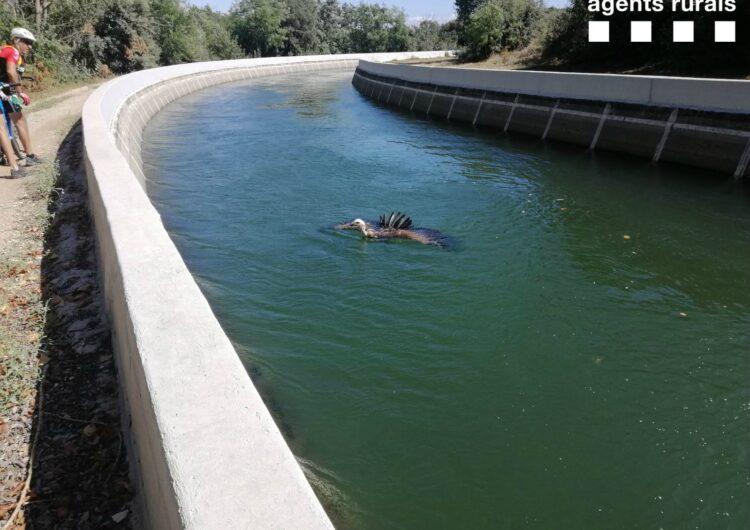 Capturen un voltor del canal d'Urgell al seu pas per Preixens