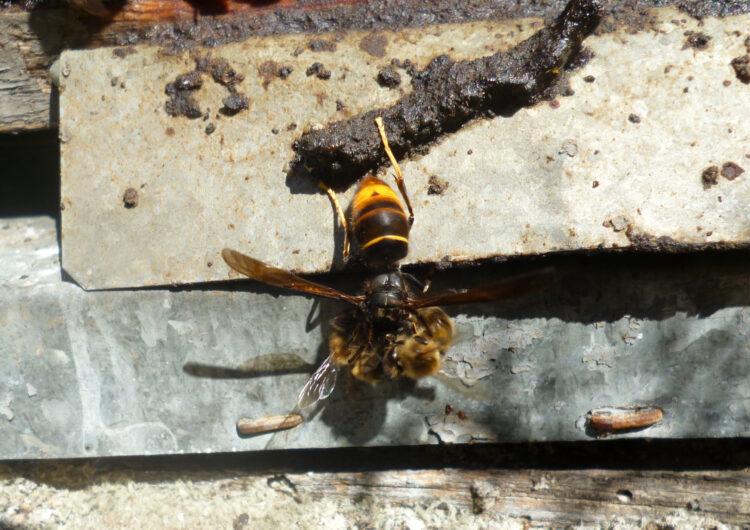 Els apicultors reclamen a l'Administració actuacions per aturar l'expansió de la vespa asiàtica a Catalunya