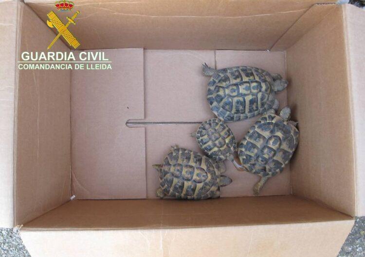 Recuperen quatre exemplars de tortuga mediterrània en un domicili de Térmens