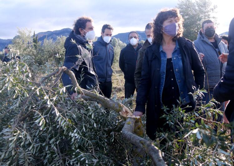 Agricultura comença a avaluar els danys a les oliveres provocats pel temporal Filomena